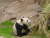 Hua Mei, the baby giant panda born at the San Diego Zoo in 2000.
