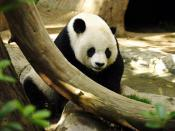 Panda Gao Gao in San Diego Zoo, USA