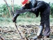 Sugar cane worker: Clewiston Region, Florida