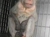 English: Description: Monkey filmed secretly by PETA in Covance lab. PETA's investigator was hired by Covance as a technician and worked inside the company's primate testing lab in Vienna, Virginia, from April 26, 2004, to March 11, 2005. The investigator