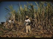 Sugar cane worker in the rich field, vicinity of Guanica, Puerto Rico  (LOC)