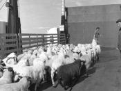 English: No racial prejudice, please! Sheep being loaded onto MV Columba at Coll pier