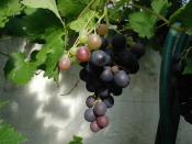 From Billede:Vitis-vinifera.JPG. Author and credit: Sten.