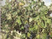 Vitis vinifera L subp vinifera