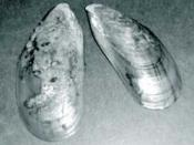 Asian Green Mussel (Perna viridis). http://www.epa.gov/owow/estuaries/coastlines/feb00/asiangreen.html