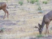 Mule Deer grazing in Zion National Park