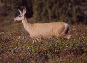 The Mule Deer is one of many species first named by Rafinesque.