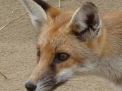 Fox, Pembrey dunes 1b