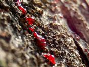 Bahasa Indonesia: Getah adalah istilah umum untuk menyebut cairan kental yang keluar dari tubuh, baik tumbuhan maupun hewan. Namun demikian, penggunaan getah pada hewan terbatas, yaitu untuk menyebut cairan limfa (getah bening).