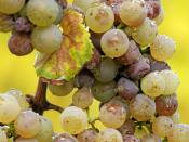 A bunch of Riesling grapes after the onset of noble rot. The difference in colour between affected and unaffected grapes is clearly visible.