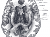 The fornix and corpus callosum from below.