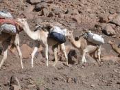 Français : Menare Algérie, Camelus dromedarius