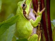 English: A Japanese Tree frog (Hyla japonica). Français : Une rainette du Japon (Hyla japonica). Photo prise à Saitama, au Japon. 日本語: ニホンアマガエル