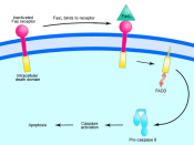 Overview of Fas signalling in apoptosis.