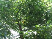 Cinnamomum camphora - camphor tree