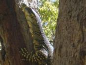 A goanna in Toowoomba, Darling Downs, Queensland
