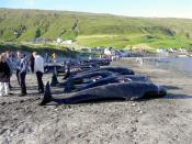 Dead pilot whales on the beach in the village Hvalba on the southernmost Faroese island Suðuroy, 11 August 2002