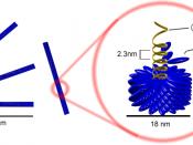 English: Schematic model of Tobacco mosaic virus. nucleic acid capsomer (protomer) capsid Русский: Схематическое изображение вируса табачной мозаики. РНК-геном Капсомер Капсид