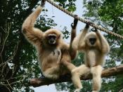 A mother white-handed gibbon and her young.Zoo d'Amiens.