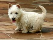 A white Scottish Terrier puppy