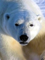 Polar bear (Wapusk National Park, Manitoba, Canada)