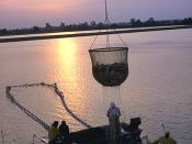 Aquaculture - workers harvest catfish from the Delta Pride Catfish farms in Mississippi.