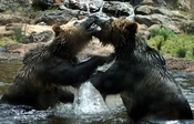 Grizzly Bears (Ursus arctos horribilis) are making out. The picture was taken in San Francisco ZOO. Français : Deux Grizzlis (Ursus arctos horribilis) jouent à la bagarre.