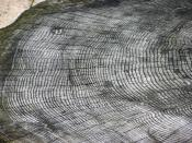 The growth rings of an unknown tree species, at Bristol Zoo, England.