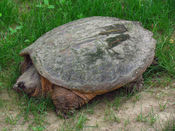 English: Common Snapping Turtle (Chelydra serpentina), near Rideau River, Ottawa, Ontario, Canada