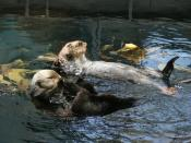 Sea Otters in the magnificnet Lisbon Aquarium. Life is for lazing on your back... with a friend...
