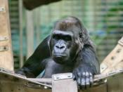 Western Lowland Gorila (Gorilla gorilla)