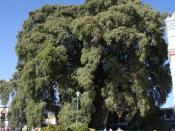 English: Taxodium mucronatum tree in Santa Maria del Tule Polski: Drzewo cypryśnika meksykańskiego w miasteczku Santa Maria del Thule w Meksyku