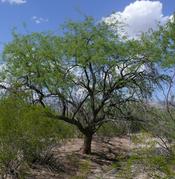 A Mesquite Bosque with Velvet mesquite - Prosopis velutina.