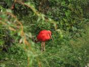 English: Scarlet Ibis (Eudocimus ruber) Français : Ibis rouge (Eudocimus ruber)