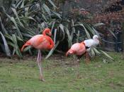 English: Two Pink Flamingos At Lotherton Hall Bird Garden
