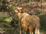 English: Browsing cow, Dilton, New Forest When they need the cattle that roam the open Forest will browse on tree branches. I still find it unusual to see cows with their necks extended like this, usually they have their noses to the ground.