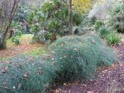 Ephedra altissima