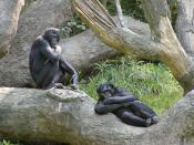 English: Bonobos at the Cincinnati Zoo. Photo by Greg Hume