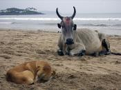 Holy cow and dog, Palolem, Goa, India.