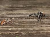 English: Male (right) and female (left) Phidippus clarus jumping spiders in courtship dance.