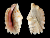 Laciniate conch (Sinustrombus sinuatus) - synonym : Strombus sinuatus). Shell length 83 mm. Français : Une coquille de strombe à crête (Strombus sinuatus). Longueur : 83 mm.