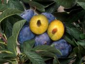 Plums that have been genetically engineered to be resistant to the plum pox virus