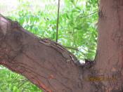 Squirrel live on Neem tree Chennai, India.