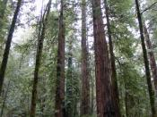 English: Armstrong Redwoods State Nature Reserve