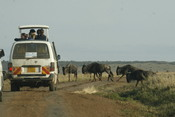 Tourists drive through the Masaai Mara viewing Wildebeests.