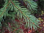 Engelmann Spruce foliage