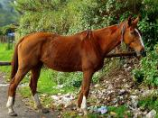 English: Horse shot at Munnar