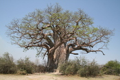 English: A Baobab tree, Adansonia digitata, in the Sahel sub-Saharan savanna, in Tanzania. picture taken at Tarangire Nationalpark, Tanzania. Deutsch: Affenbrotbäume (Adansonia digitata) oder Baobab-Bäume, fotografiert im Tarangire Nationalpark, Tanzania