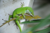 English: Green anole mating (Anolis carolinensis), Carolina anole