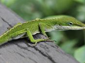 Green Anole Lizard (Anolis carolinensis) on railing in Hilo, Hawaii.